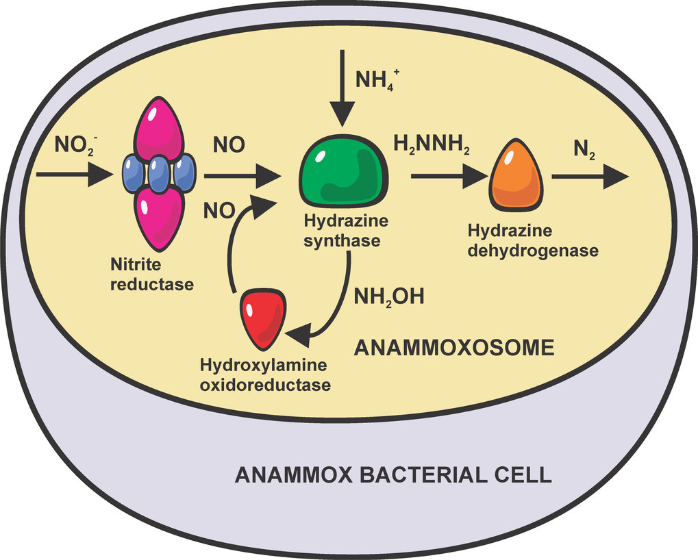 <p><em>Schematic of the current view of the anammox pathway</em></p>