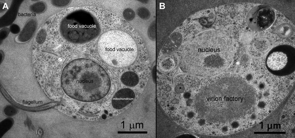 A) Thin section electron micrograph of an uninfected <em>Cafeteria roenbergensis</em> cell. B) <em>C. roenbergensis</em> cell infected with CroV. Images by U. Mersdorf
